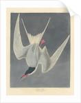 Great Tern by John James Audubon