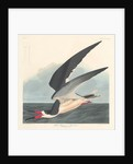 Black Skimmer by John James Audubon
