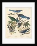 Yellow-billed Magpie, Stellers Jay, Ultramarine Jay and Clark's Crow by John James Audubon