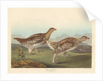 Sharp-tailed Grous by John James Audubon