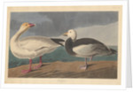 Snow goose by John James Audubon