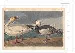 Snow goose by John James Audubon