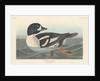 Golden-eye Duck by John James Audubon