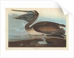 Brown Pelican by John James Audubon