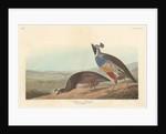 Californian Partridge by John James Audubon
