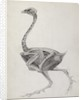 Fowl: Lateral View, Deeply Disecting by George Stubbs
