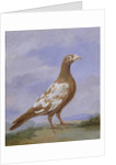 Red Pied Carrier Pigeon by D. the Younger Wolstenholme