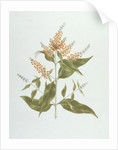 Umtar (Buddleia polystachya) by James Bruce