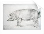 Hereford Boar by James Ward
