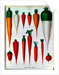 Carrots, Table IV from the 'Album Benary' by Ernst Benary