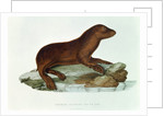 A Baby Australian Sealion by French School