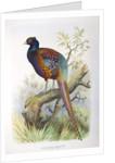 Phasianus strauchi, 1906-7 by Henry Jones