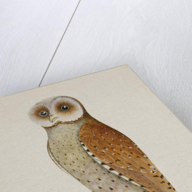 Bay owl (Phodilus Badius) by J Brios