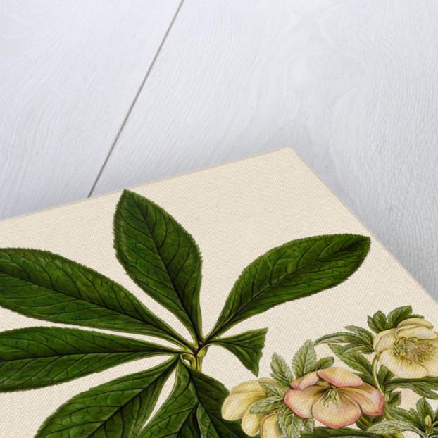 Christmas/ Lenten rose by Ferdinand Bauer