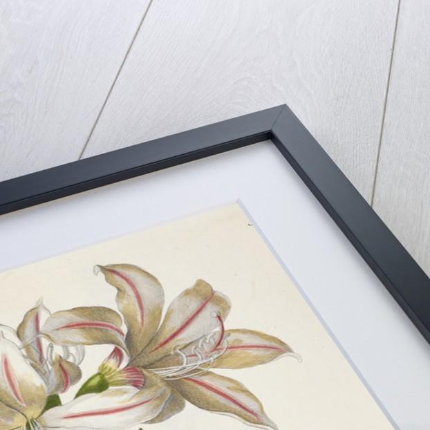 Amaryllis (Belladonna lily) by J E Haid