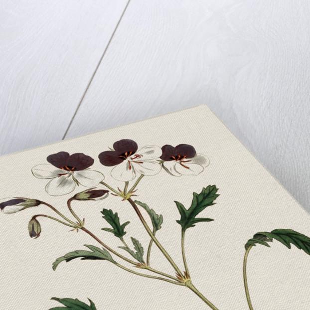 Pelargonium (Geranium) by Anonymous