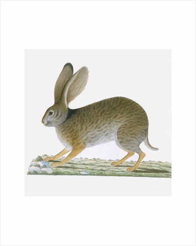 Hare by A Collis