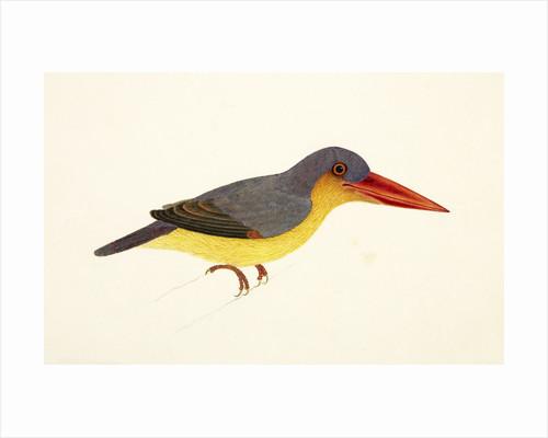 Stork-Billed Kingfisher by J Briois