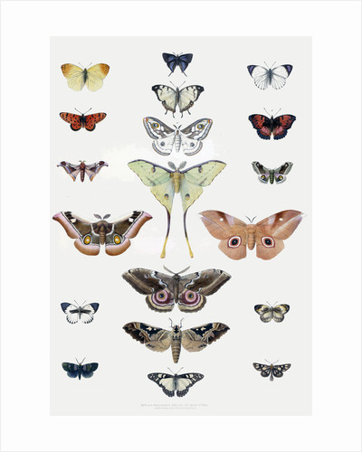 Butterflies by Anonymous