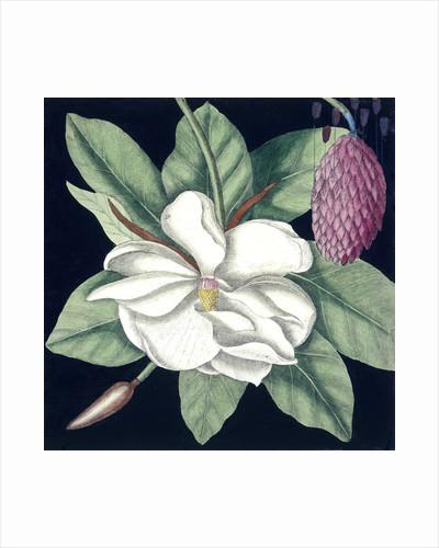 Magnolia by Mark Catesby