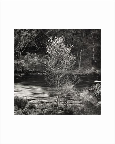 Silver Birch by Fay Godwin
