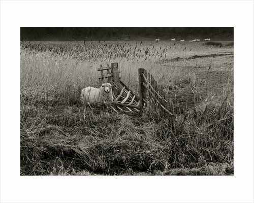 Sheep by Fay Godwin