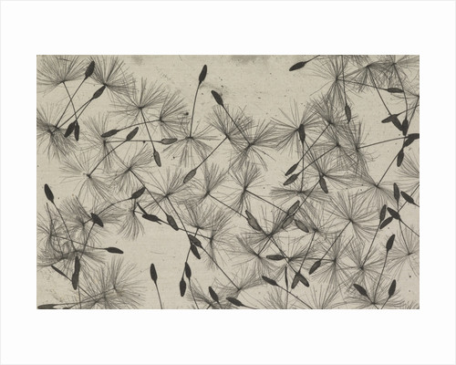 Dandelion seeds by William Henry Fox Talbot