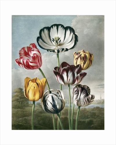 Tulips - The Temple of Flora by Robert John Thornton