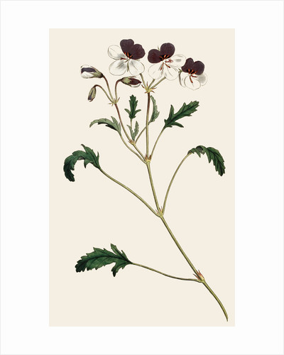 Pelargonium (Geranium) by Anonymous