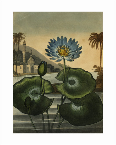 Blue lotus by Stadler