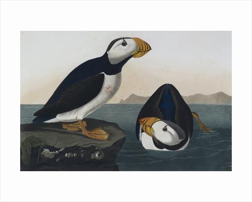 Puffins by John James Audubon