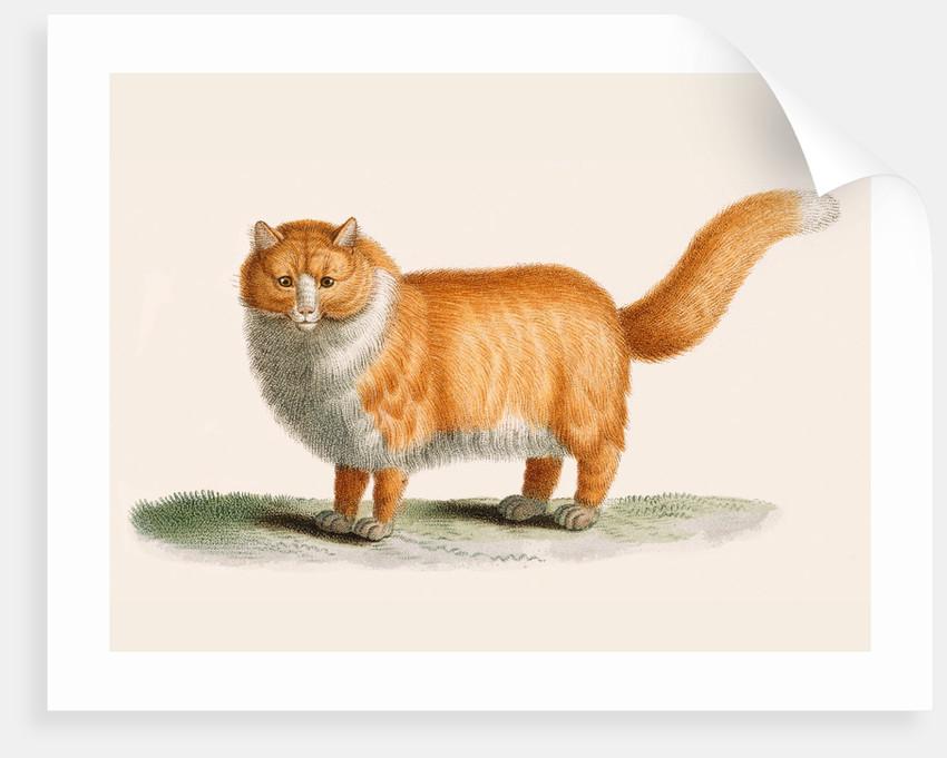 A ginger cat by J B Huet