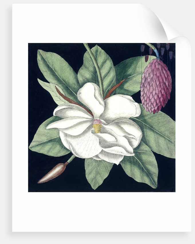 Magnolia by Mark Catesby