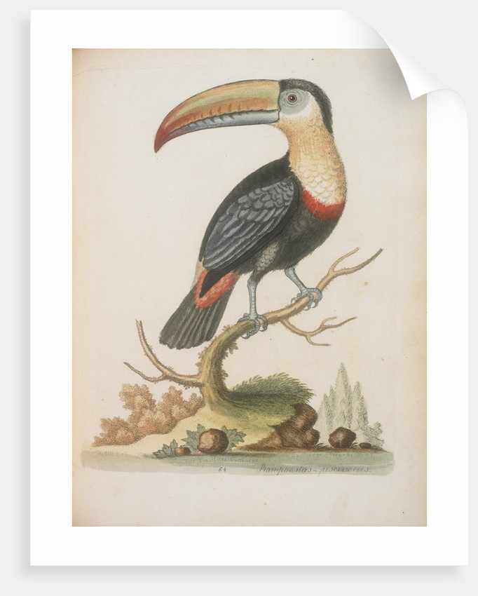 The Toucan by Anonymous