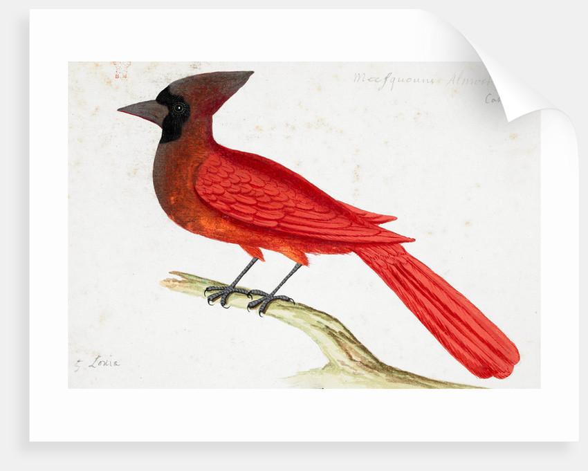 Red Cardinal by John White