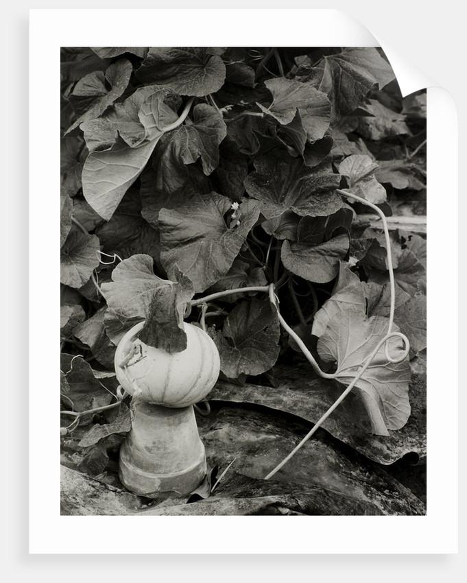 Pumpkin growing in garden by Fay Godwin