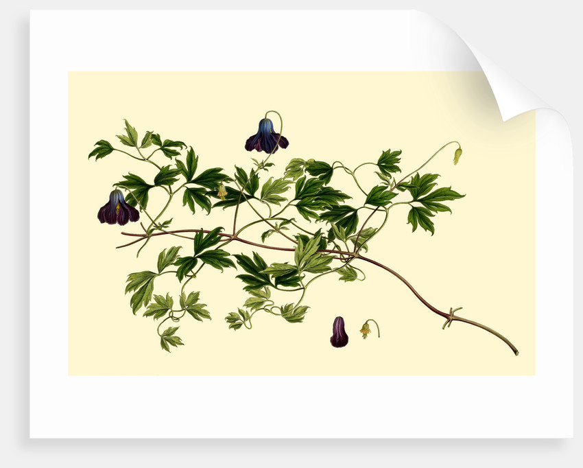 Clematis by J E Haid