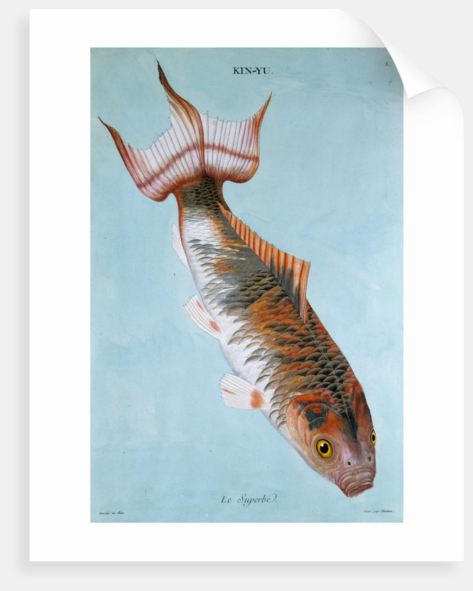 Kin-Yu: Le Superbe fish print by Edme Billardon-Sauvigne