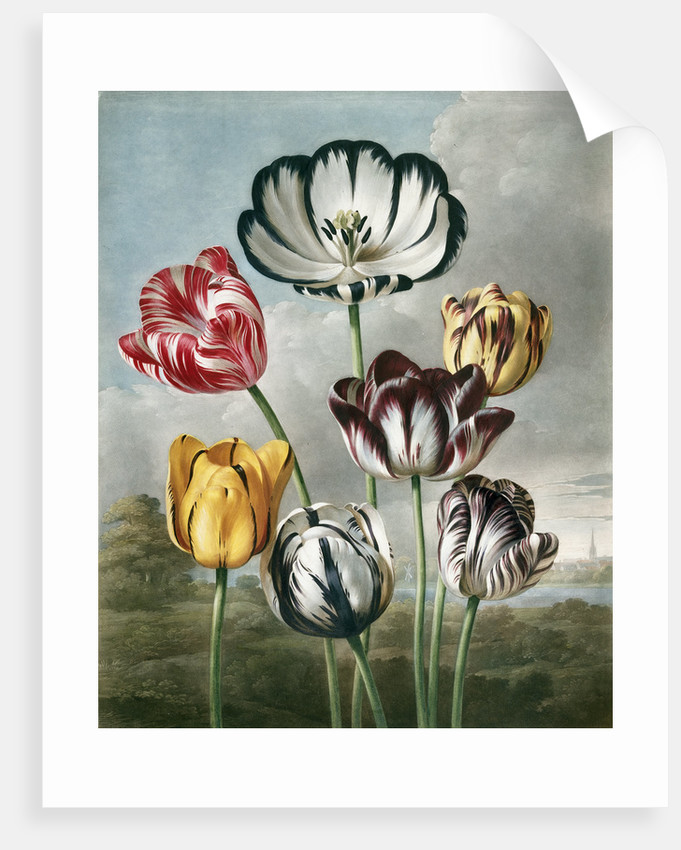 Tulips - The Temple of Flora by Robert John Thornton