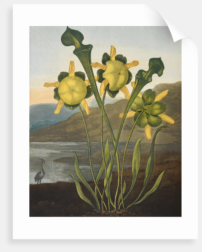 Pitcher Plant - The Temple of Flora by Robert John Thornton