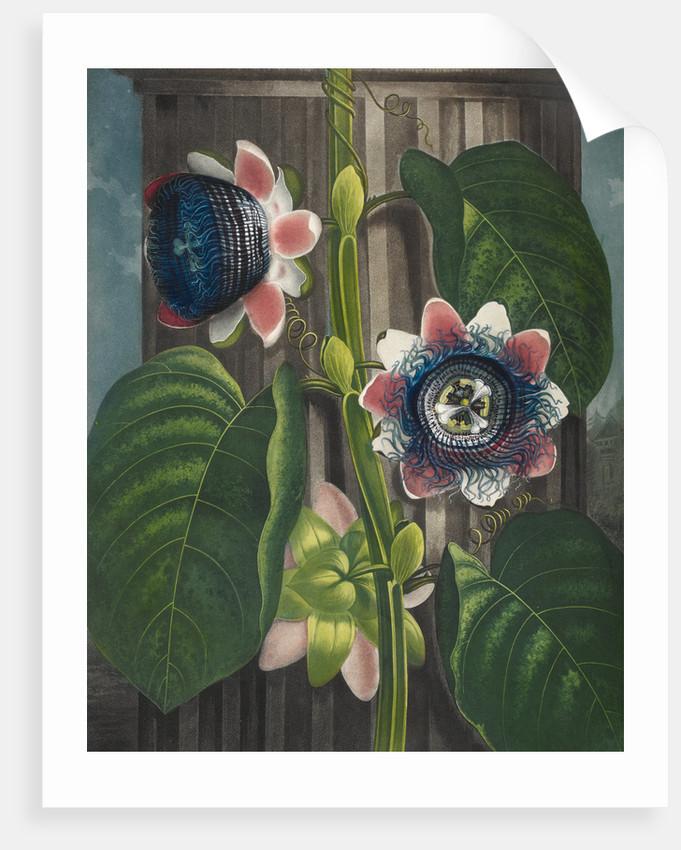 Quadrangular Passion-flower - The Temple of Flora by Robert John Thornton
