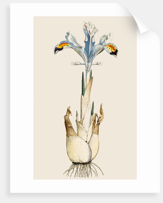 Iris by Anonymous