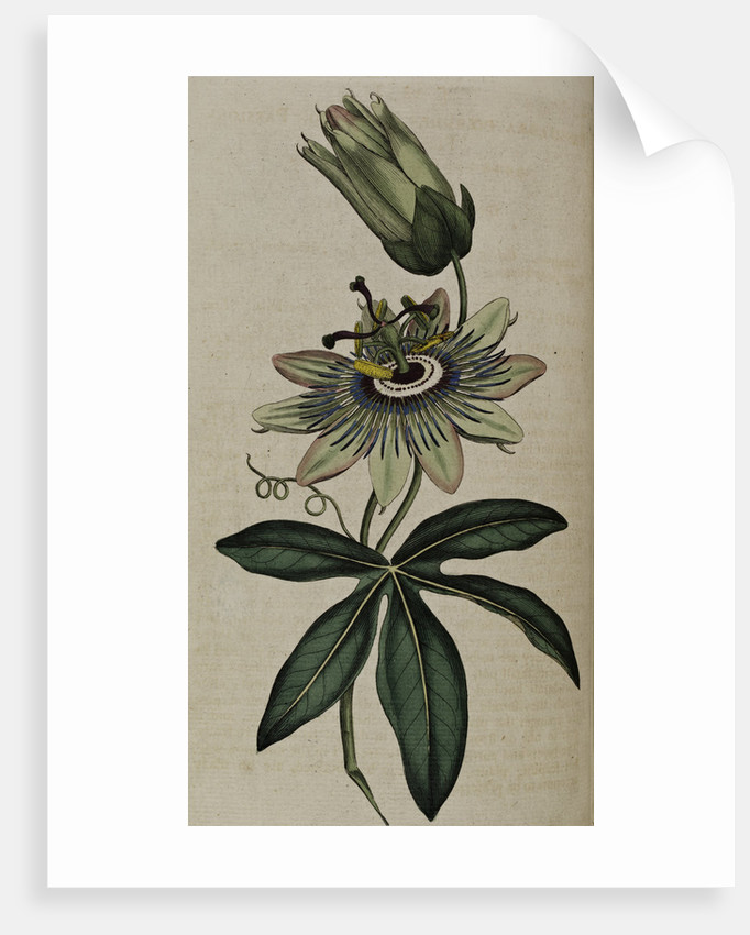 Passion flower by Anonymous