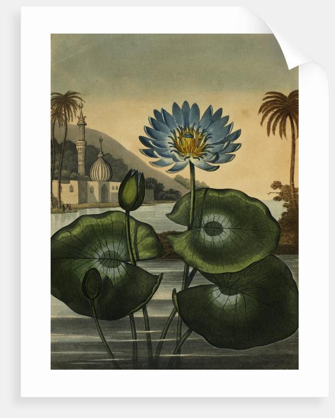 Blue lotus by Stadler