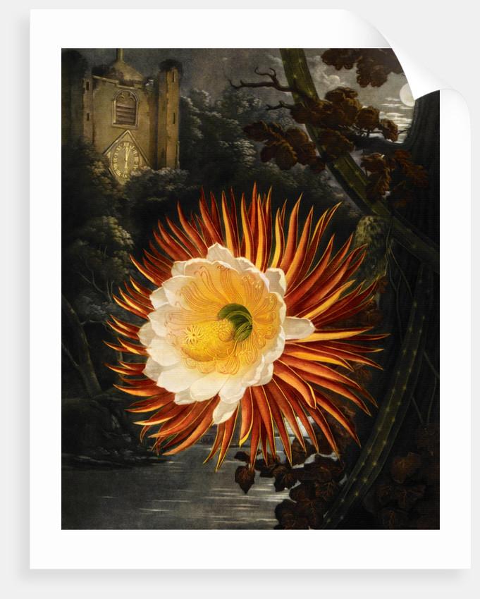 Selenicereus (Night-flowering cactus) by Robert John Thornton