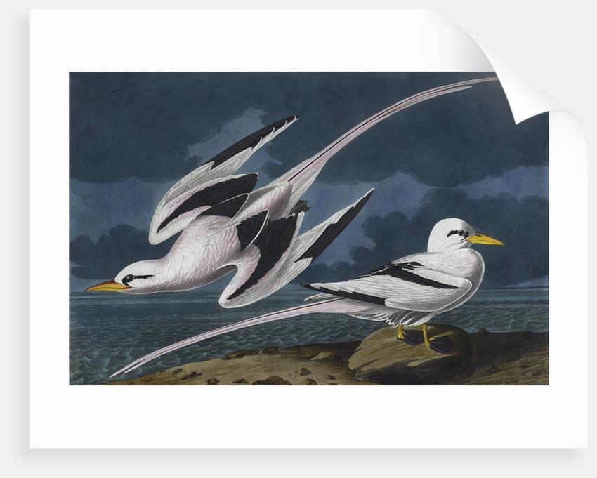 Tropic birds by John James Audubon