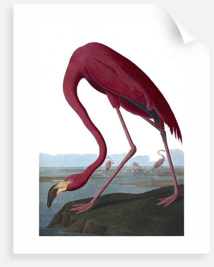 Flamingo by John James Audubon
