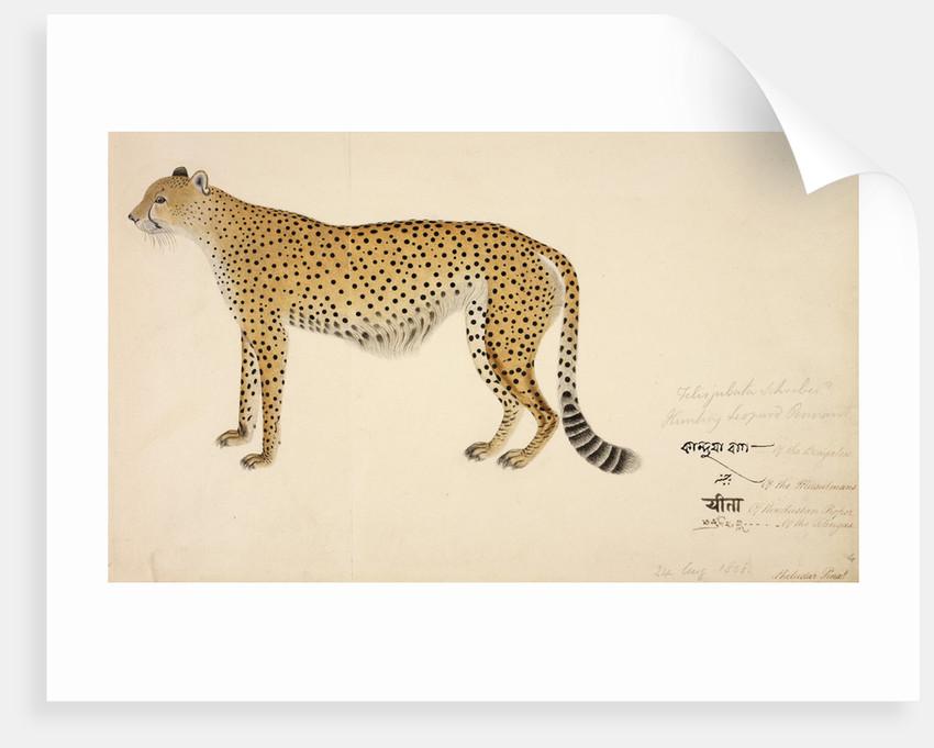 Asian Cheetah by Haludar