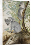 Koala bears by John William Lewin