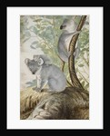 Koala bears by John William Lewin